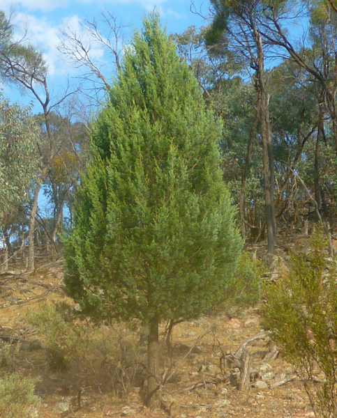 Australian Trees VI - Cypress Pines