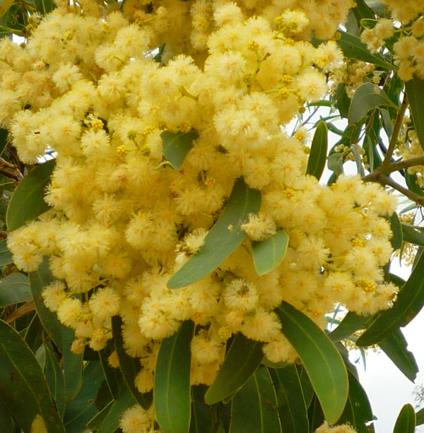 wattle colour